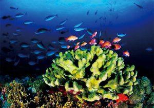 台灣的珊瑚礁資源可發展潛水觀光,部分地區使用人工魚 礁,只要能繁衍藻類,也能吸引魚群,創造資源。(圖片來 源:海管處陳朝宗攝)