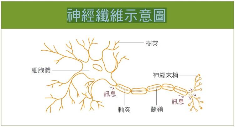 神經纖維示意圖
