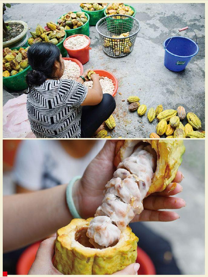 屏東農民正在取出可可果中的種子,準備發酵。白色的果肉微甜,嘗起來像山竹