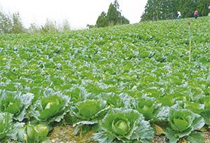 一望無際的高麗菜田,多是重藥重肥所養出。菜農手捧重金搶地,迫使部分果農砍樹放租或加入種菜行列。(圖片來源:數位島嶼無糖豆漿攝)