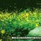 台北都市復育螢火蟲 驚豔國際