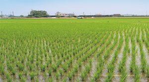 宜蘭有機原鴨米