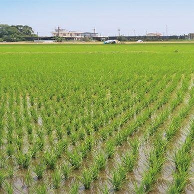 宜蘭有機原鴨米 應節而耕鴨稻共生